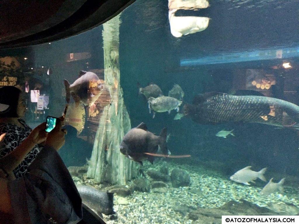 Freshwater Journey Aquaria KLCC Arapaima tank 02