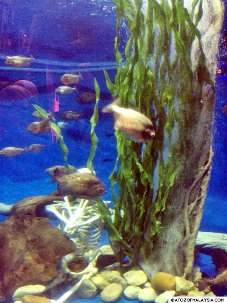 Red bellied piranha tank