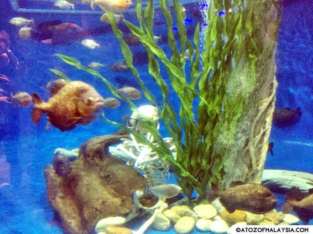 Red bellied piranha tank with fish